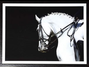 equestrian white stallion